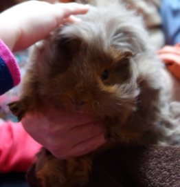 CobWeb the guinea pig